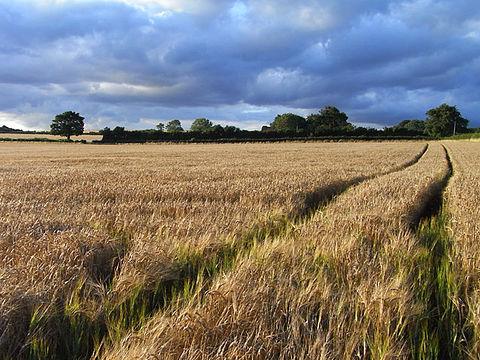 barley-field_england